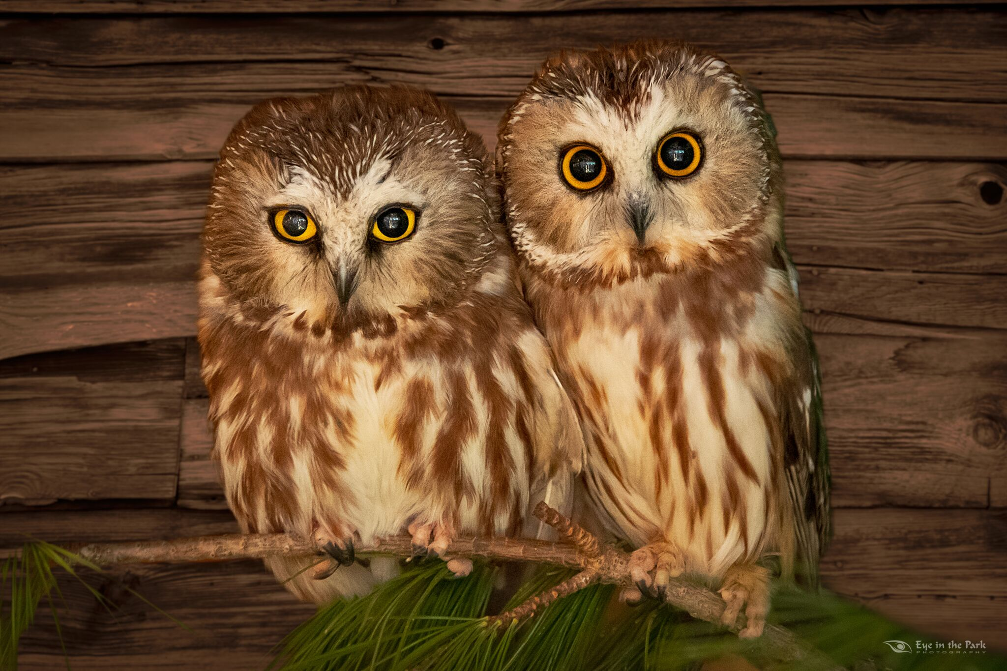 Saw whet owls by Joe Kostoss, Eye in the Park